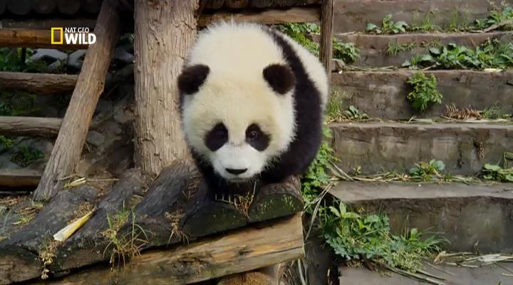 National Geographic: Гигантские панды / Giant Pandas (2013) IPTVRip