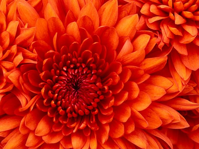Chrysanthemum jpg